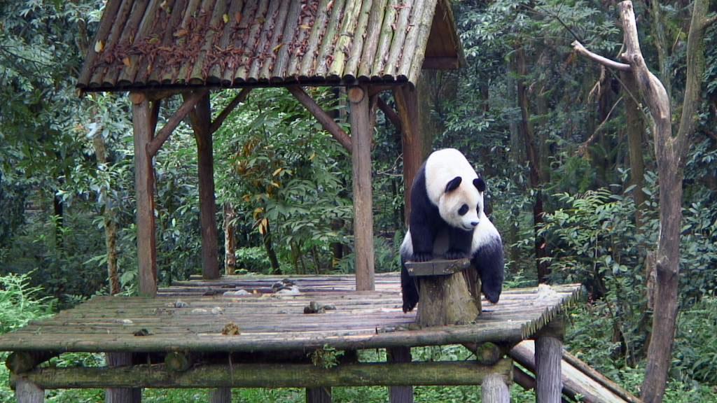 violet 77 panda bear