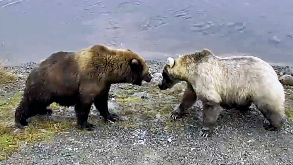 two mother bears squaring off