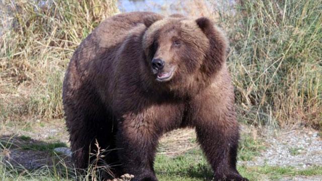 Divot, Brown Bear #854