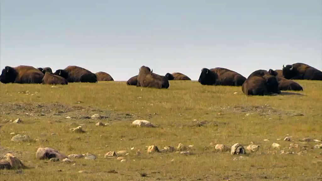herd of bison resting