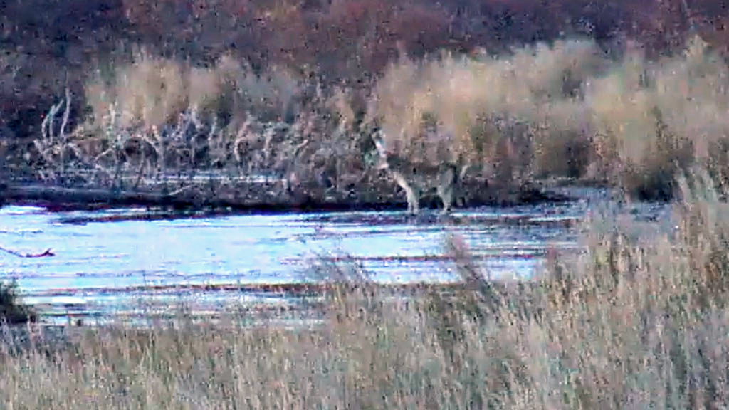 Lone wolf on the Lower River