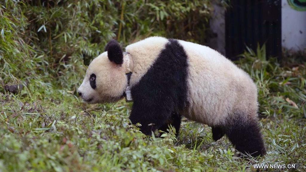 panda cub Xue Xue