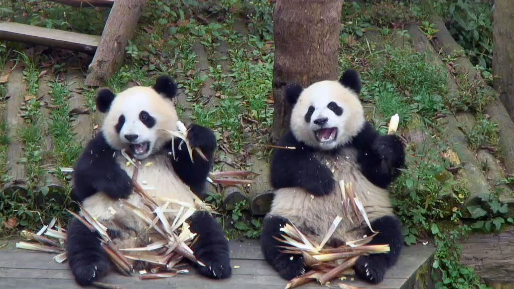 panda toddlers eating bamboo