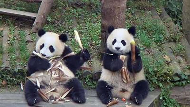 panda toddlers eating bamboo