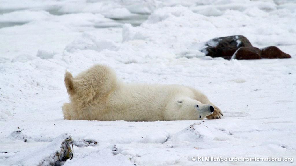 polar bear rolling on ground