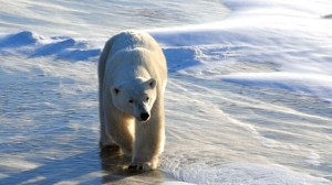 """Share Your Own Polar Bear Story"" Contest"
