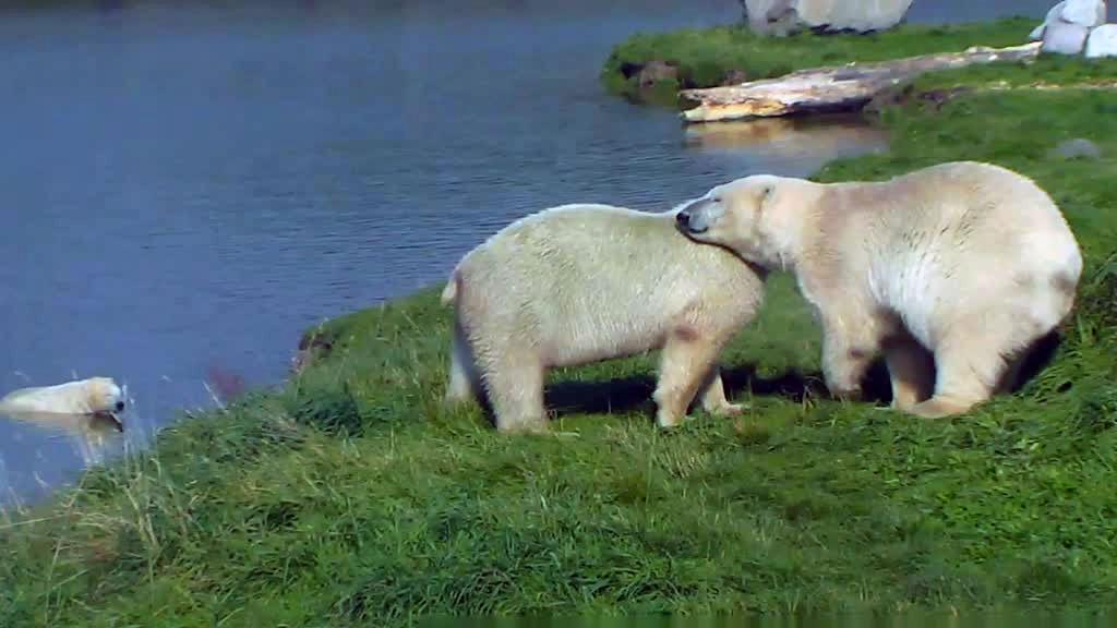polar bears nuzzling