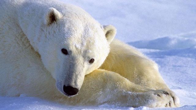 polar bear lying in snow