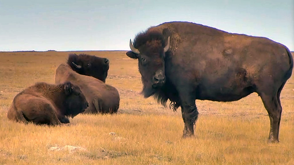 two bison in the grasslands