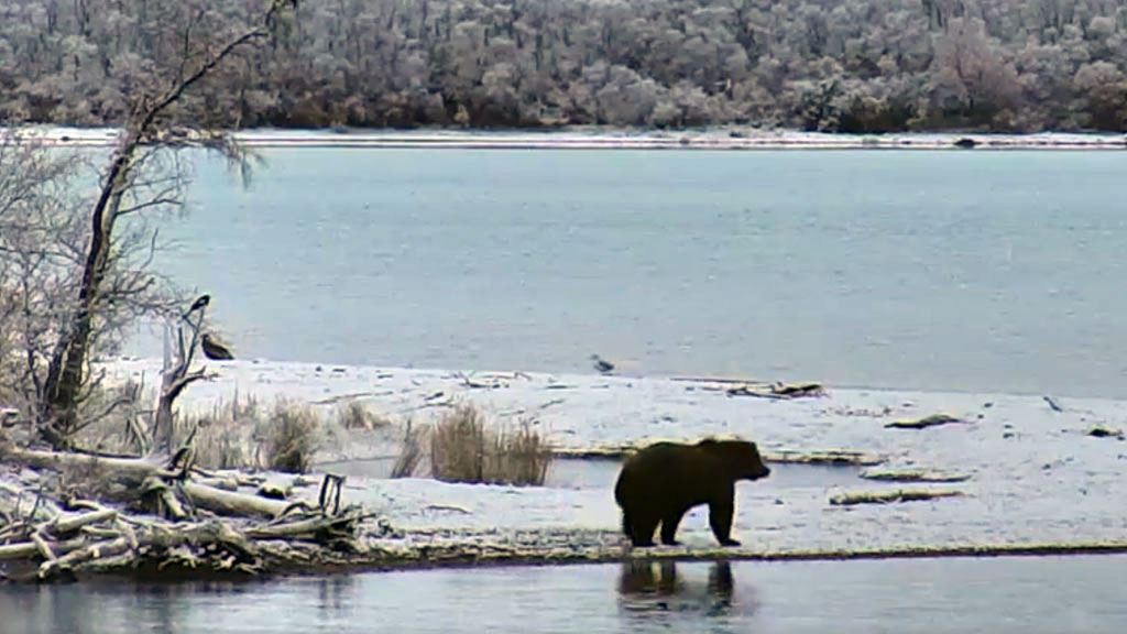 brown bear at river in snow