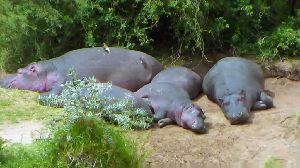 Top 5 hippo photos of the week explore