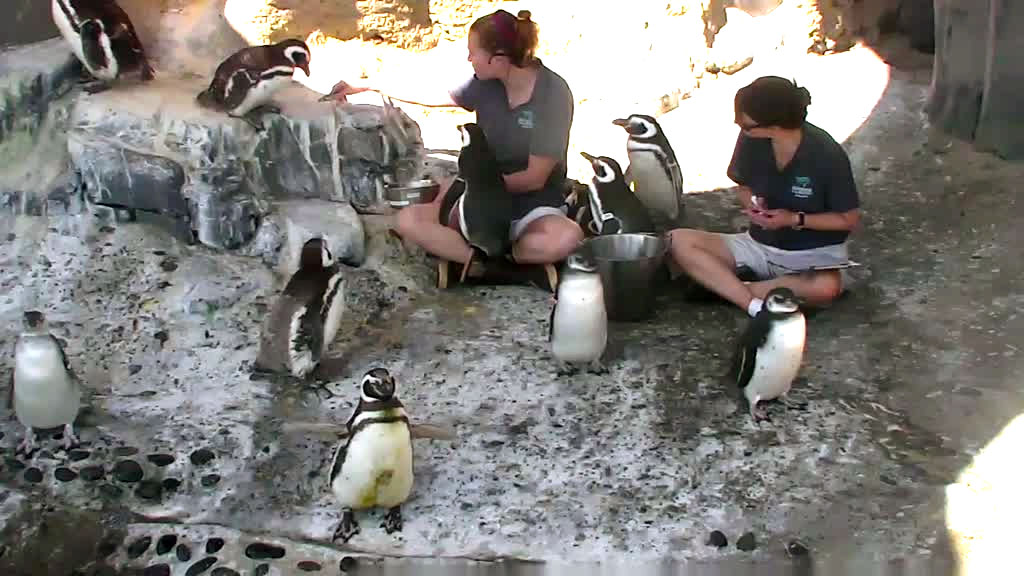 penguin feeding time