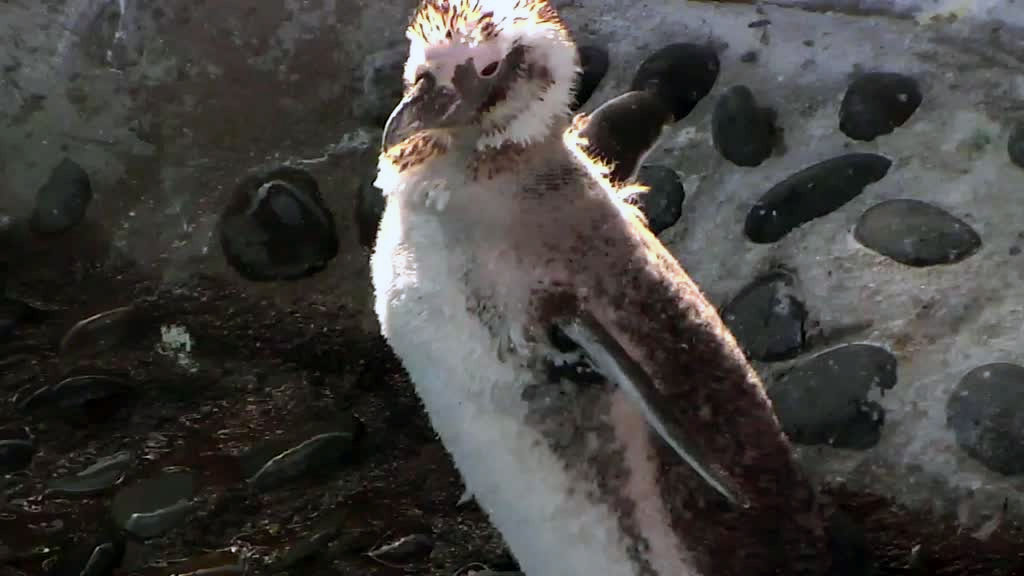 penguin fluffing in sun