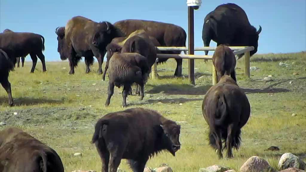 bison herd gathering together