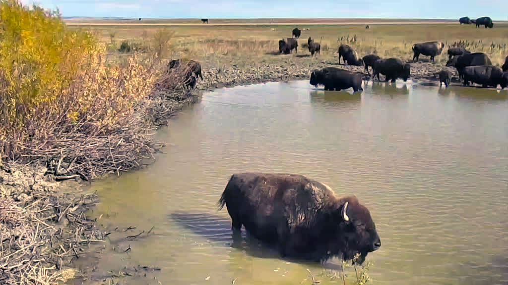 bison in the watering hole