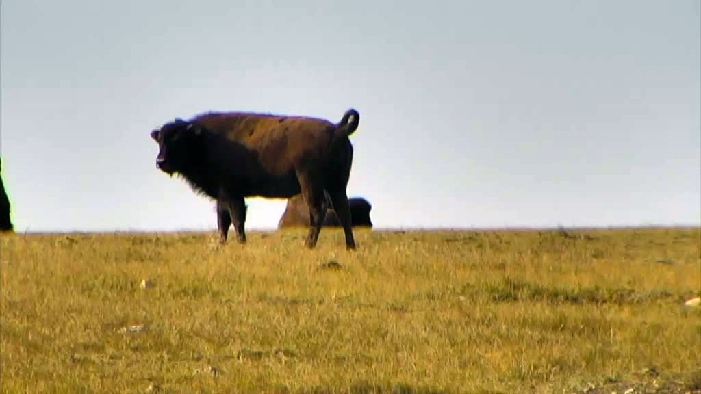 A lone bison grazing in the grass.