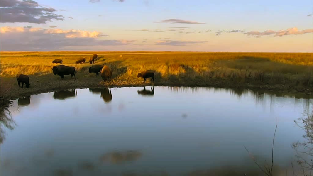 bison sunset at watering hole