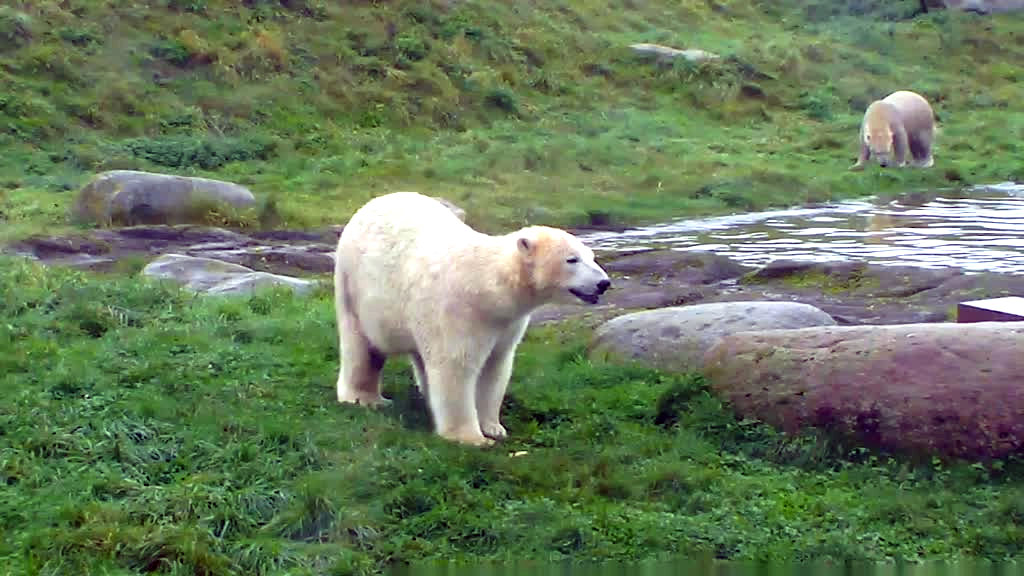 Polar bear smiling - photo#12