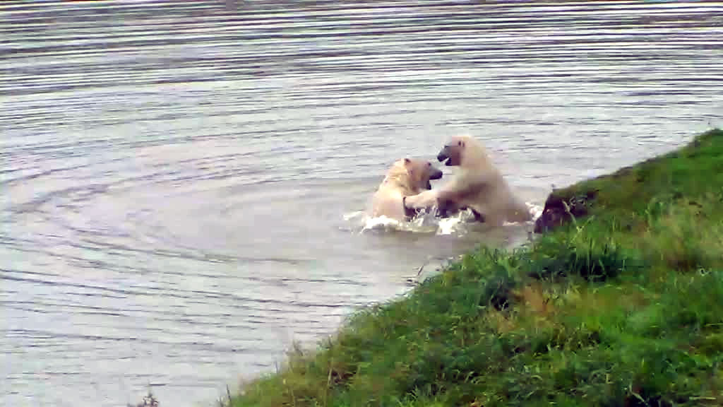 Two polar bears wrestling in the water.