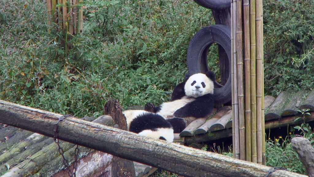 panda bears lying on their backs
