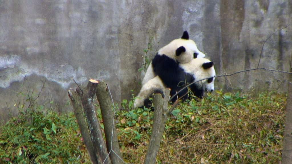 pandas hugging