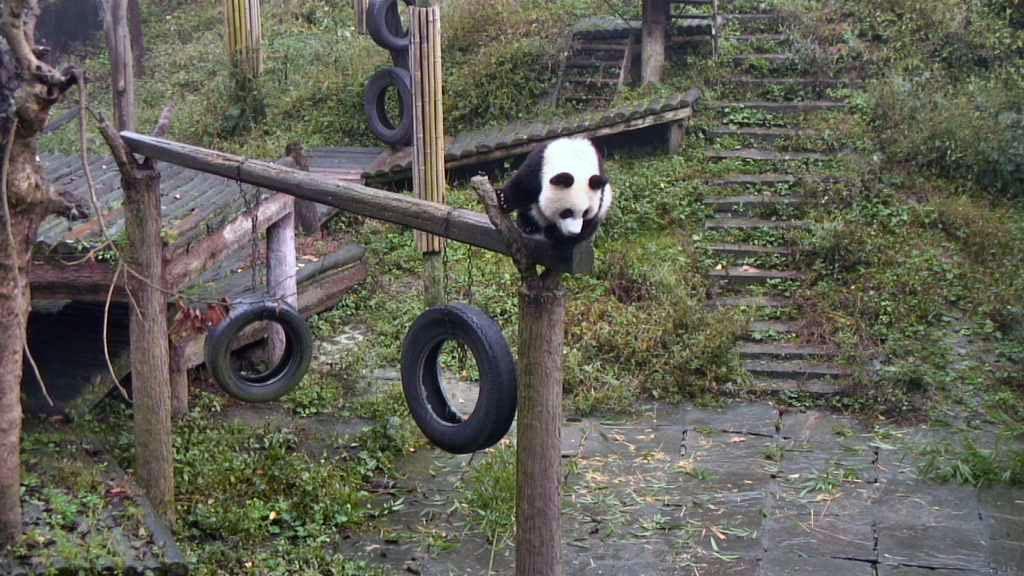 panda cub climbing around