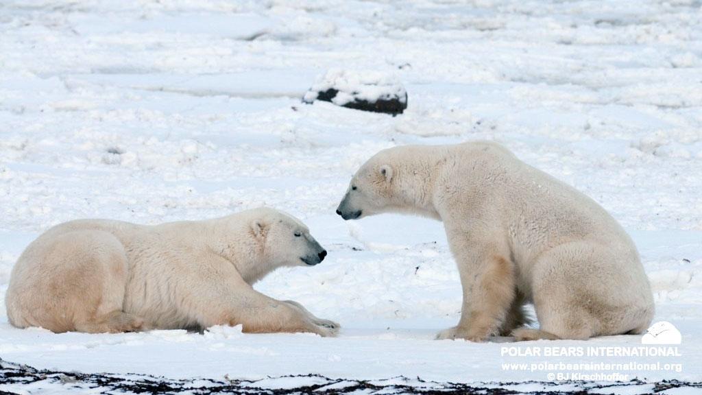 two polar bears facing off