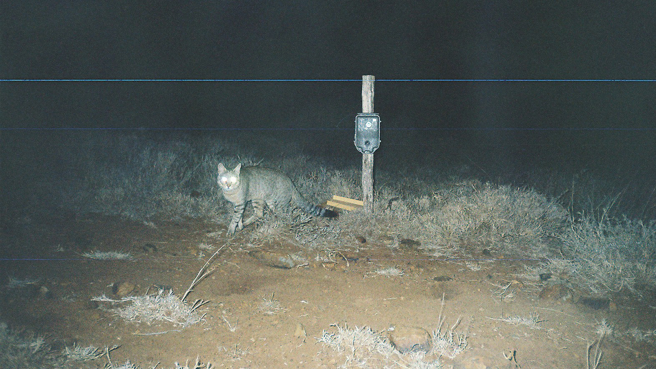 African Wild Cat (from a camera trap)