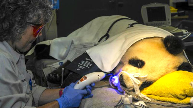 panda bear dental visit