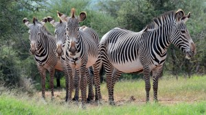 Live Chat with Grevy's Zebra Experts, 10/22/14 – 1pm PT / 4pm ET