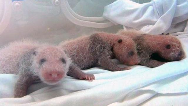Panda Bear Triplet Cubs