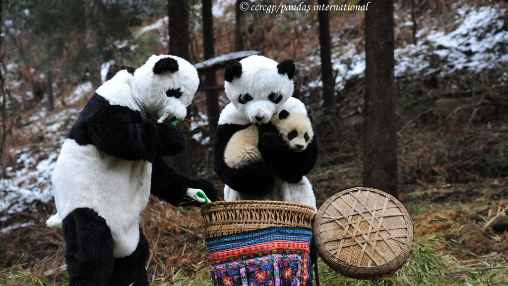 panda outfits for reintroduction