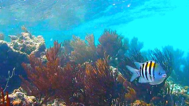 Sergeant Major Fish Cayman Reef