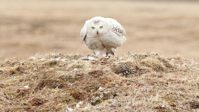 Snowy Owl AKA Arctic Ghost
