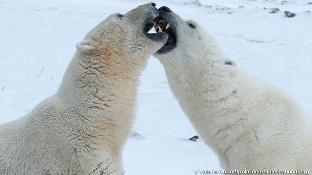 2 polar bears fighting