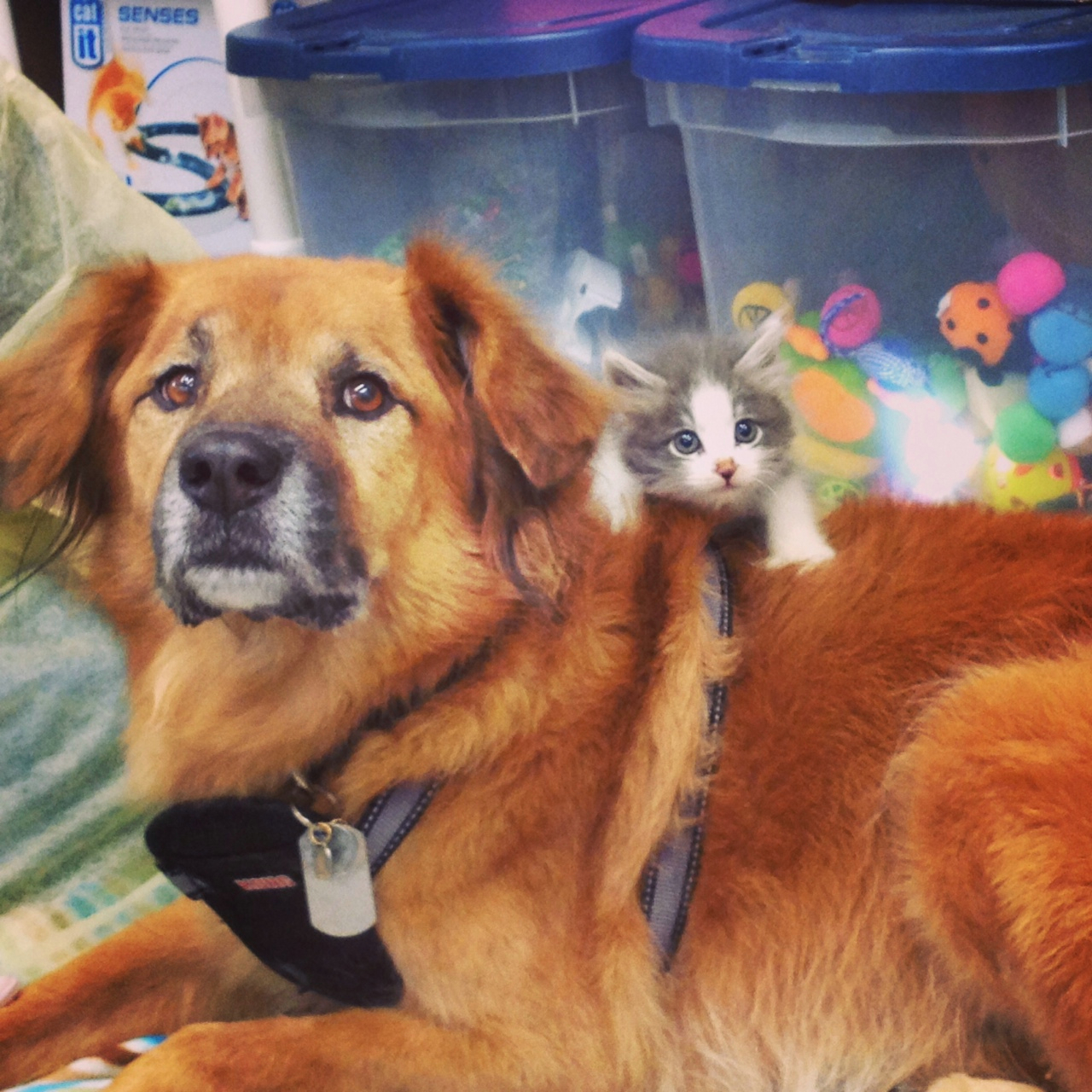 This Dog Is A Nanny For Kittens