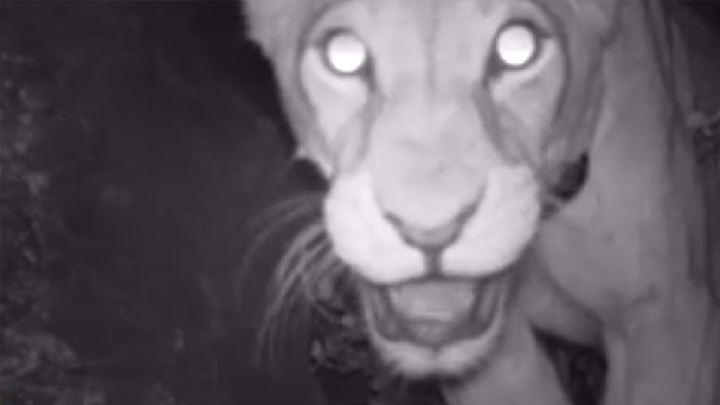 lion caught on camera trap