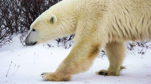Gizmodo Joins the Polar Bear Experience