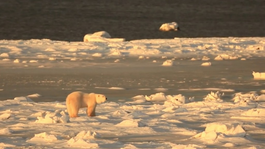Stunning HD Video Of Polar Bear Roaming Tundra
