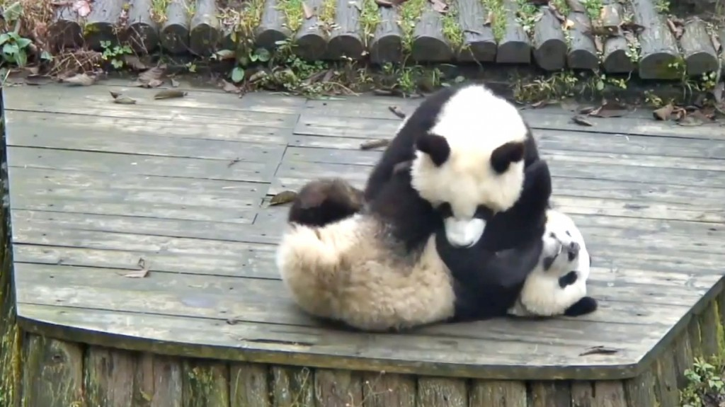 panda cubs play fighting