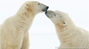 Join the Final Polar Bear Live Chat of the Season