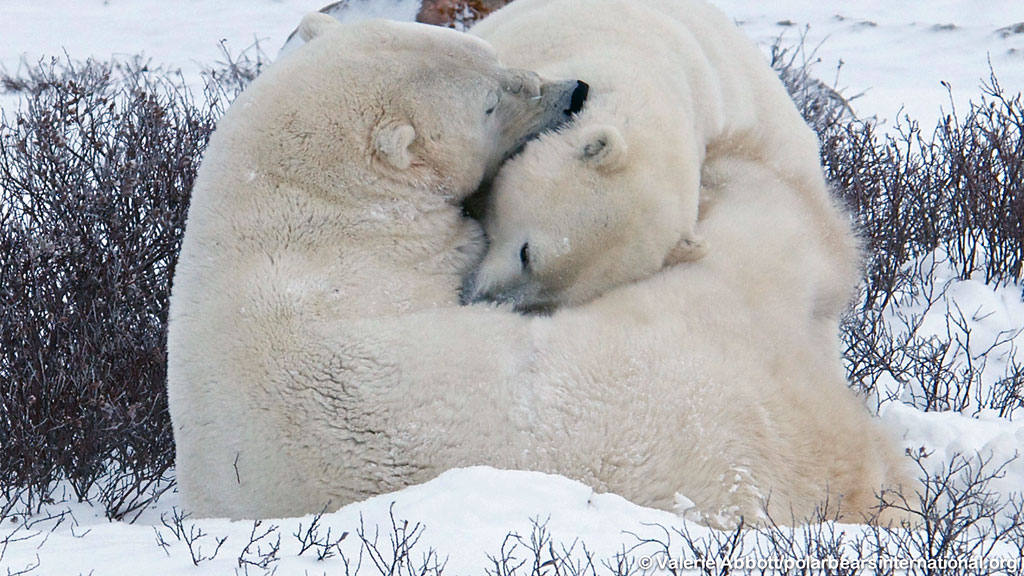 polar bears hug while napping