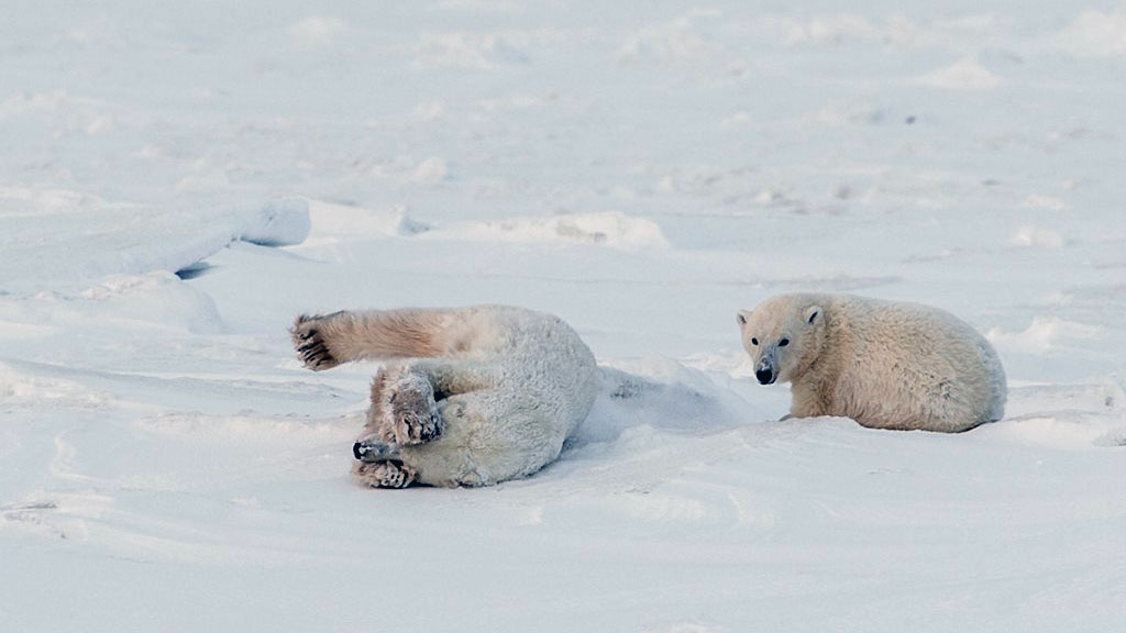 polar bear rolling in snow