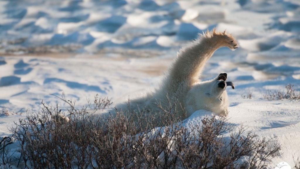 polar bear on back yawning