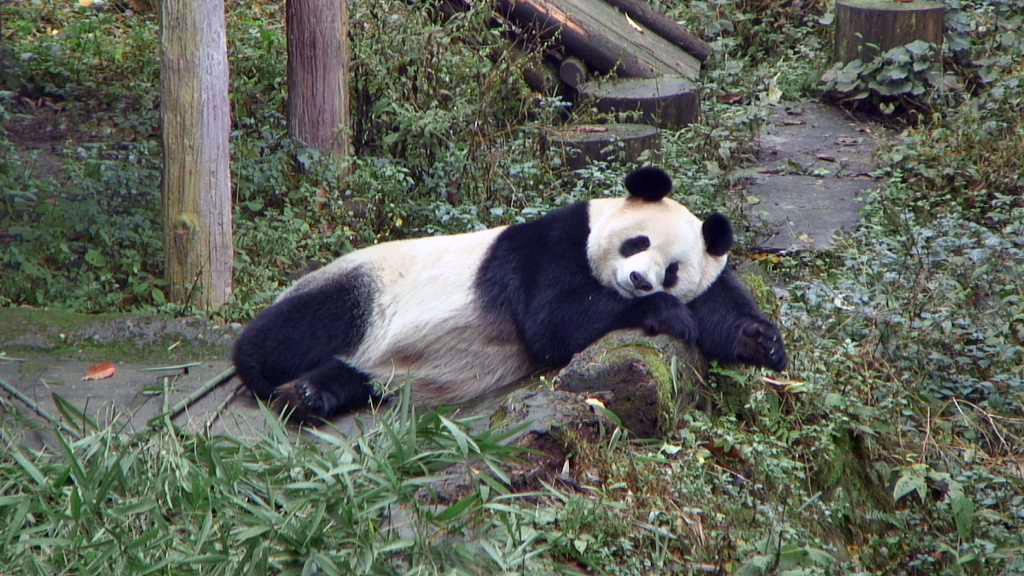 panda bear napping