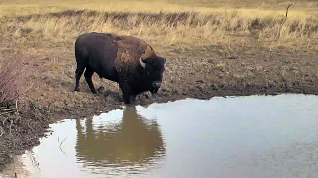 A lone bison getting a drink from the watering hole