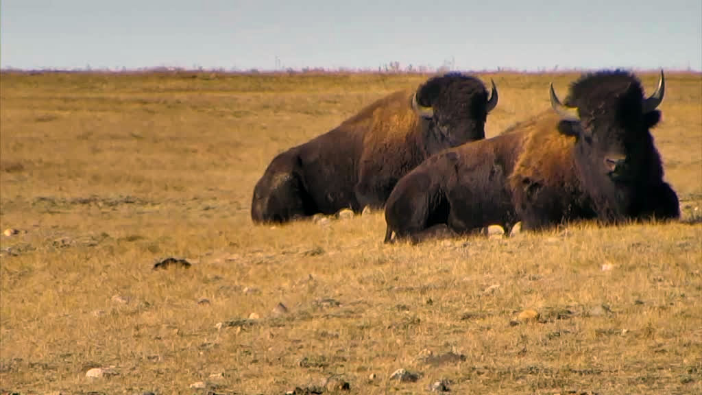 Two bison laying in the grass