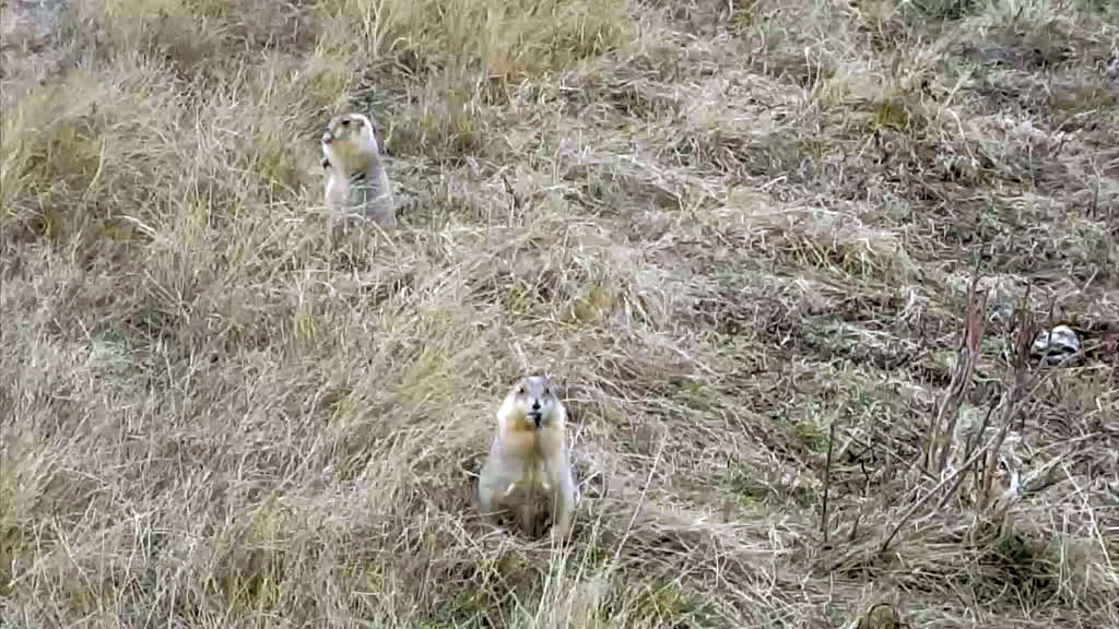 Prairie dogs caught on camera.