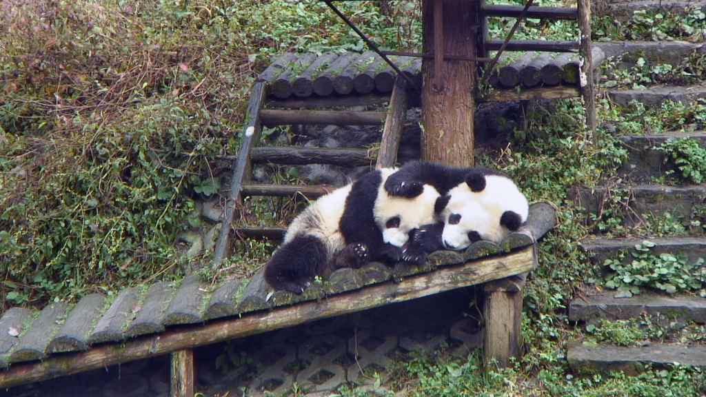 panda cubs snuggling