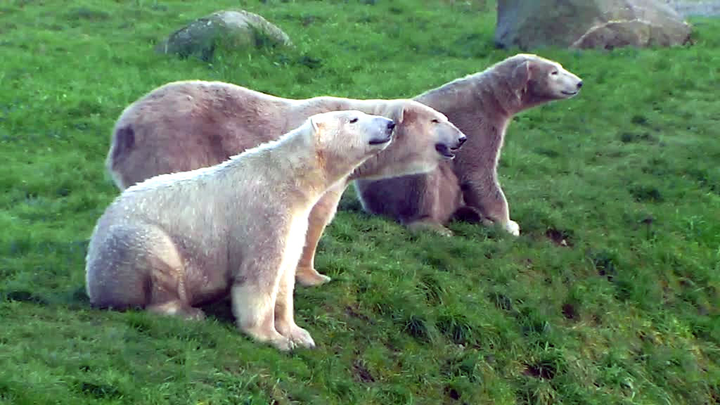 three polar bears smiling